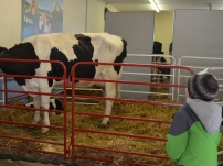 For a lot of students, meeting the cows was a highlight of the trip. They learned about taking care of cows, when they produce milk, and the production process for dairy farmers. (Clare Bonnyman/CBC)